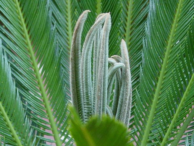 Cycas revoluta: características, habitat, toxicidade, cuidados 4