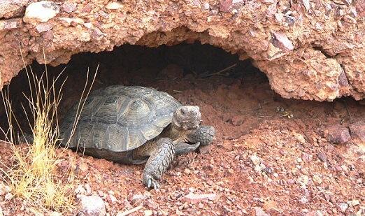 Tartaruga do Deserto: características, habitat, reprodução 5