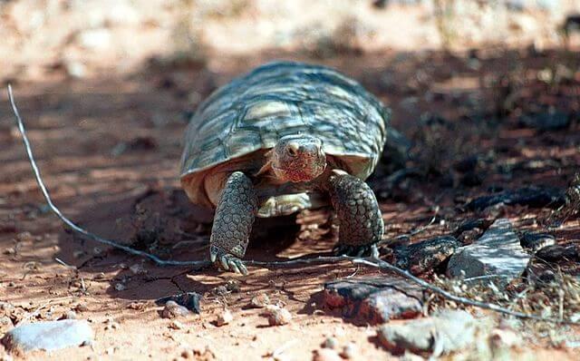 Tartaruga do Deserto: características, habitat, reprodução 3