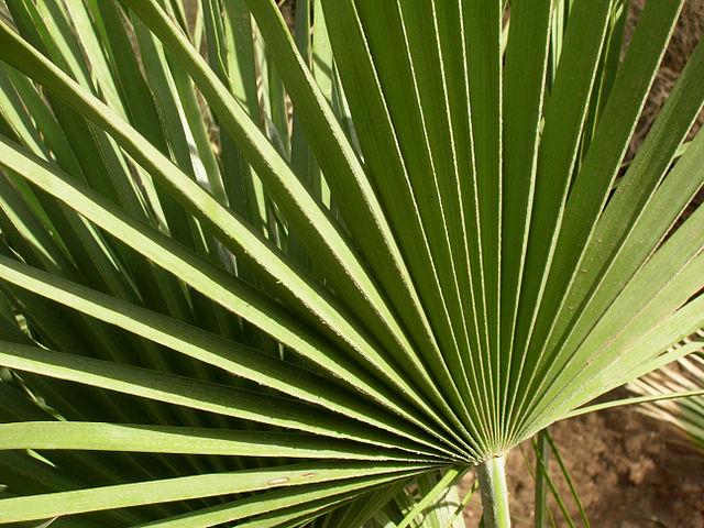 Chamaerops humilis: características, habitat, cuidados, doenças 2