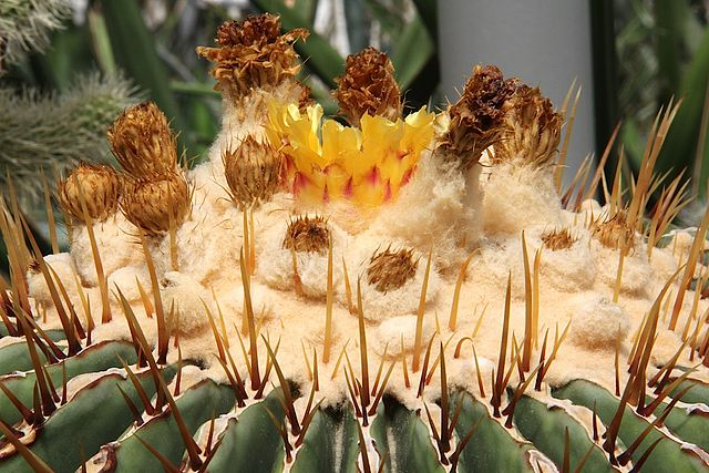 Echinocactus platyacanthus: características, habitat, usos 5
