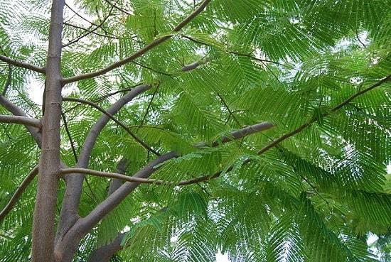 Huanacaxtle: características, taxonomia, habitat, usos 2
