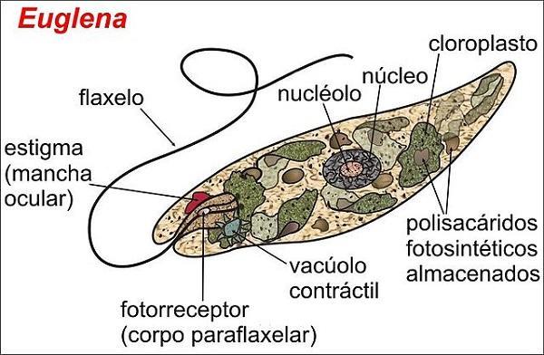 Mastigophora (flagelado): características, morfologia, nutrição 2