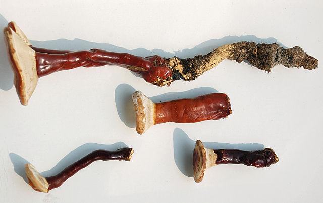 Ganoderma lucidum: características, habitat e benefícios 8