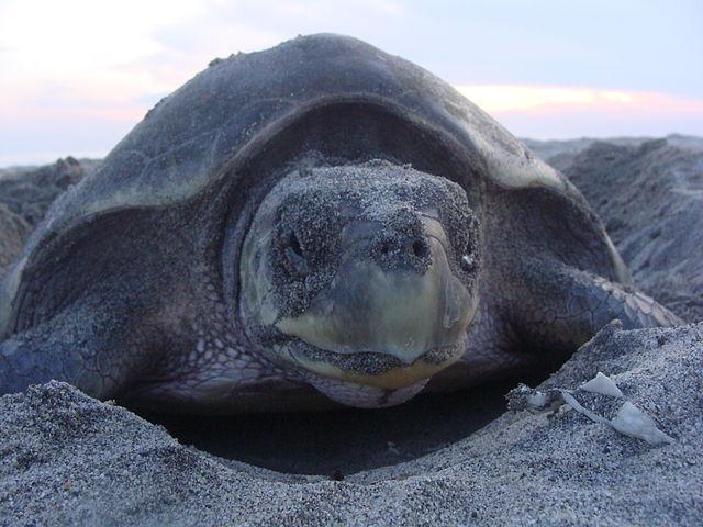 Ciclo de vida da tartaruga marinha para crianças (com imagem) 6