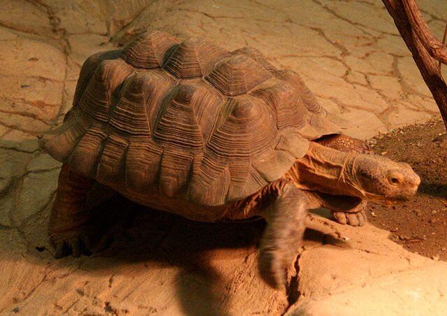 Tartaruga do Deserto: características, habitat, reprodução 2