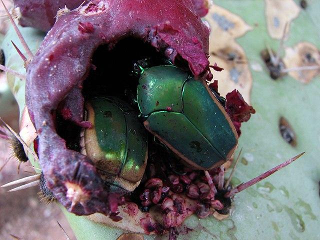 Mayate: características, habitat, reprodução, controle biológico 6