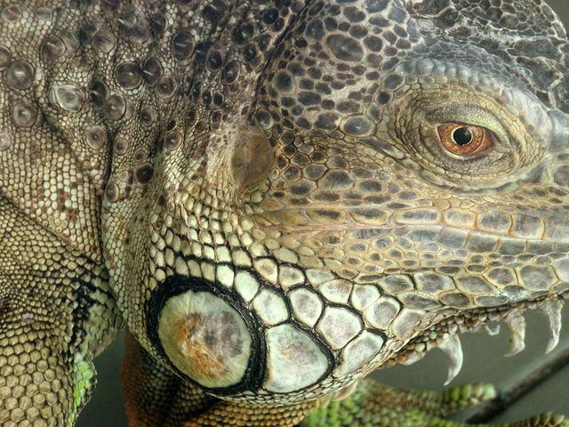 Iguana: características, espécies, habitat, reprodução 7