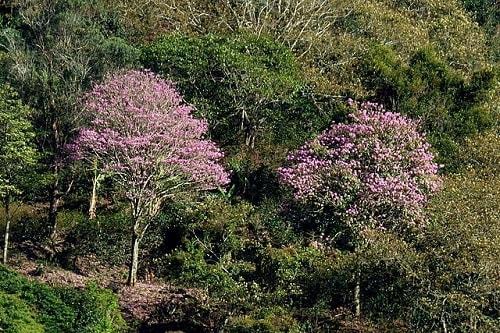 Tabebuia rosea: características, habitat, pragas e usos 7