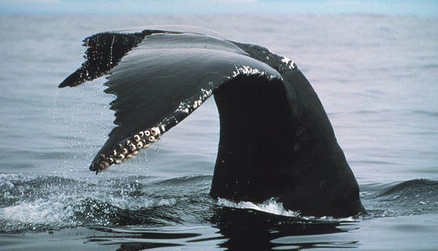 Baleia-jubarte: características, habitat, reprodução, comportamento 3