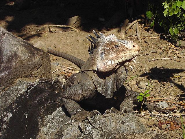 Iguana: características, espécies, habitat, reprodução 3