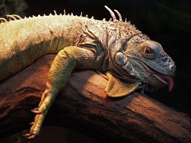 Iguana: características, espécies, habitat, reprodução 6