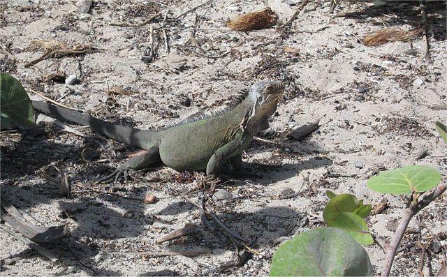 Iguana: características, espécies, habitat, reprodução 5