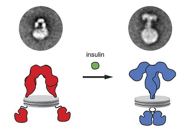 Receptores de insulina: características, estrutura, funções 1