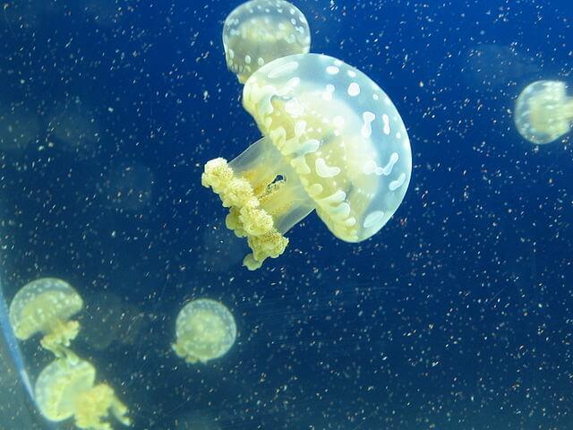 Água-viva: características, morfologia, habitat, reprodução 7