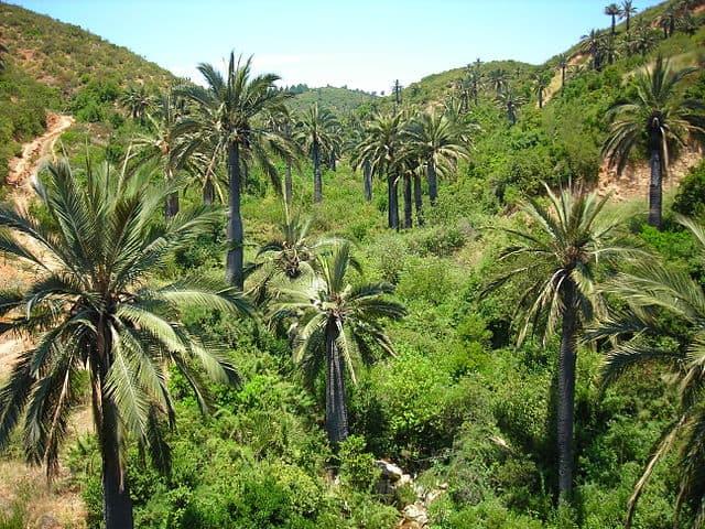 Palma chilena: características, habitat, usos, cultivo 1