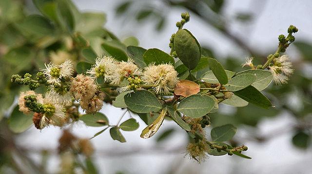 Pithecellobium dulce: características, habitat, propriedades 5