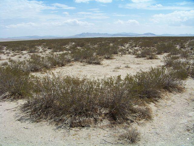 Governador: características, habitat, propriedades medicinais 4