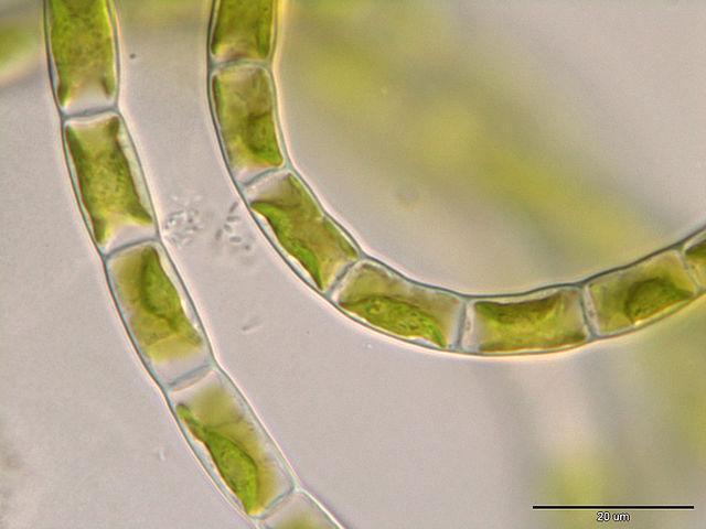 Algas verdes: características, habitat, tipos e propriedades 8