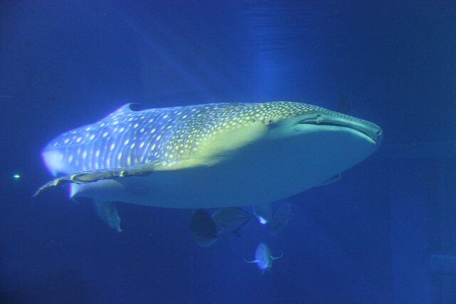 Tubarão-baleia: características, habitat, comida, comportamento 3