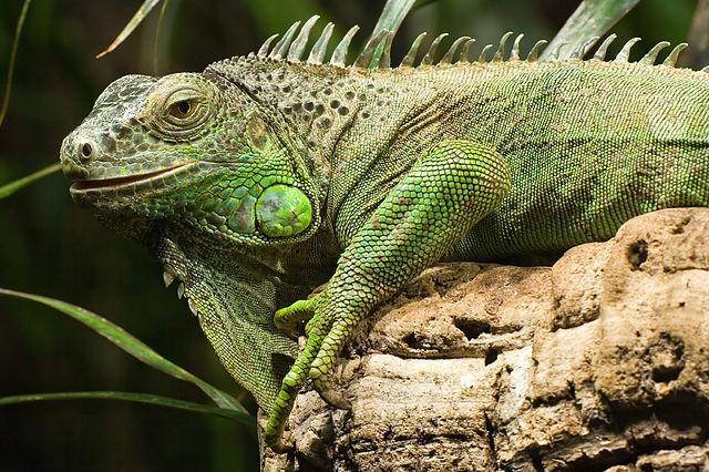Iguana: características, espécies, habitat, reprodução 4