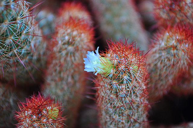 Mammillaria: características, habitat, cultivo, usos e espécies 7