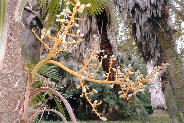 Trachycarpus: características, habitat, distribuição, espécies 2
