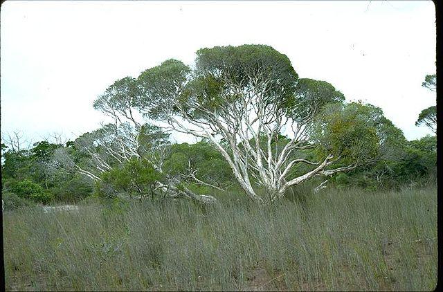 Melaleuca cajuputi: características, habitat, usos, pragas 1
