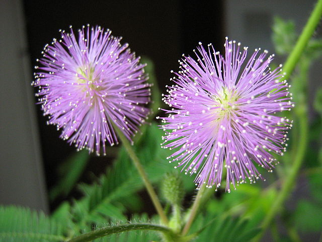 Mimosa pudica: características, habitat, propriedades, cultivo 5