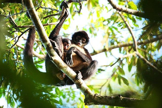 Macaco-aranha: características, habitat, reprodução, alimentação 5
