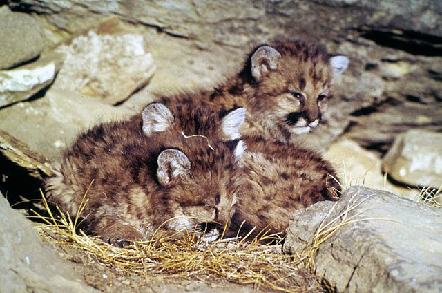 Puma concolor: características, perigo de extinção, habitat 4
