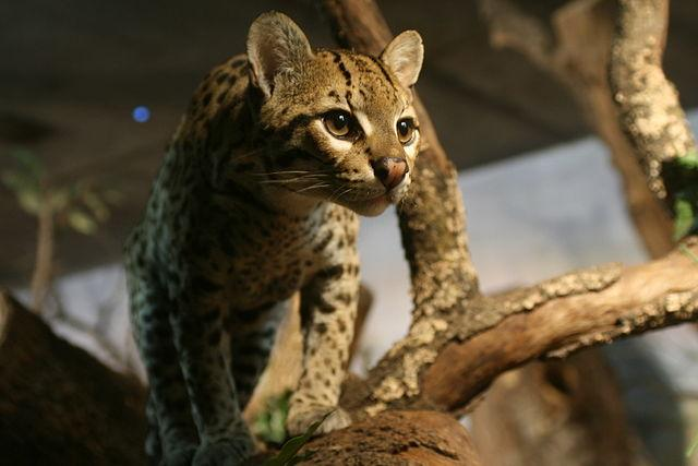 Jaguatirica: características, perigo de extinção, alimentos 2