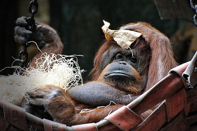 Orangotango: características, habitat, comida e comportamento 5