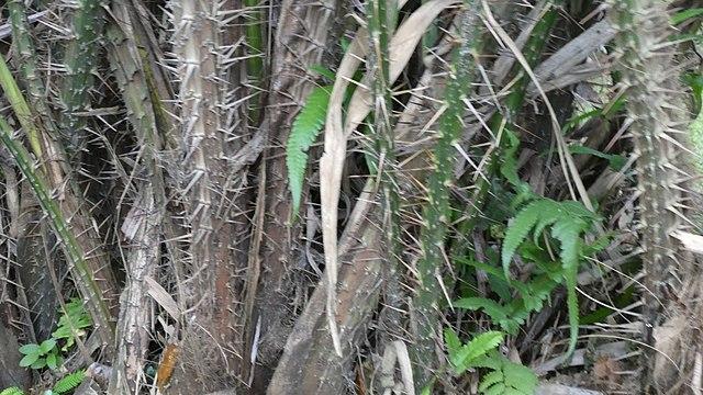 Palmeiras: características, habitat, propriedades, cultivo, espécies 5
