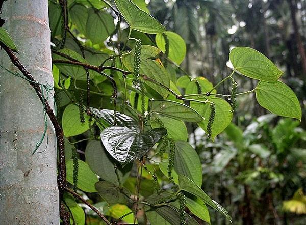Piperaceae: características, distribuição e habitat, exemplos 5