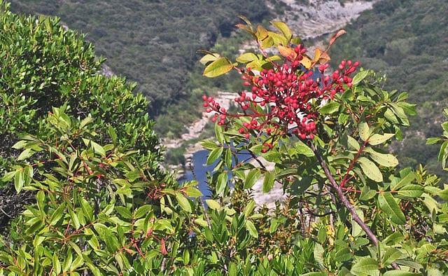 Cornicabra: características, habitat, propriedades, cultivo, doenças 2