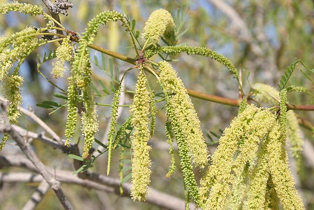 Mezquite: características, habitat, cultivo, cuidados e usos 3