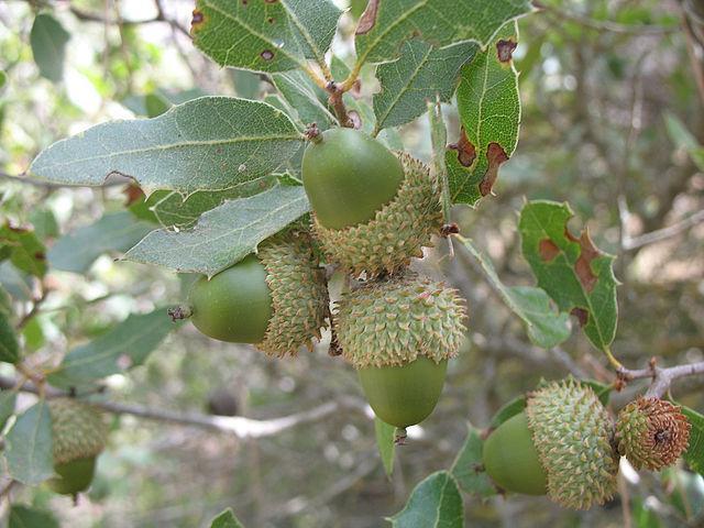 Encinos ou carvalhos (gênero Quercus): características, usos, espécies 6