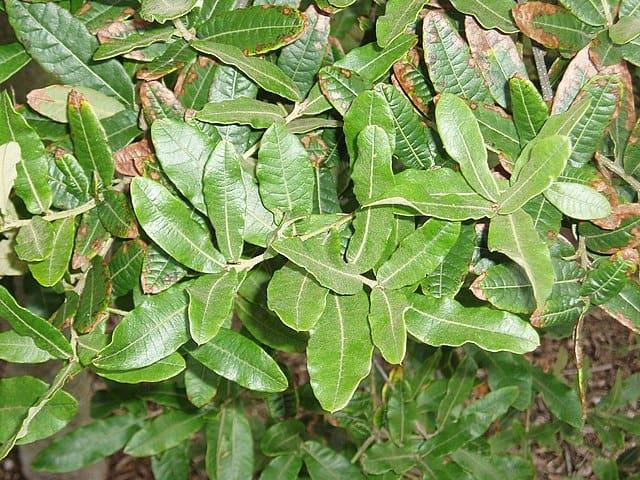 Quercus crassipes: características, habitat, usos 3