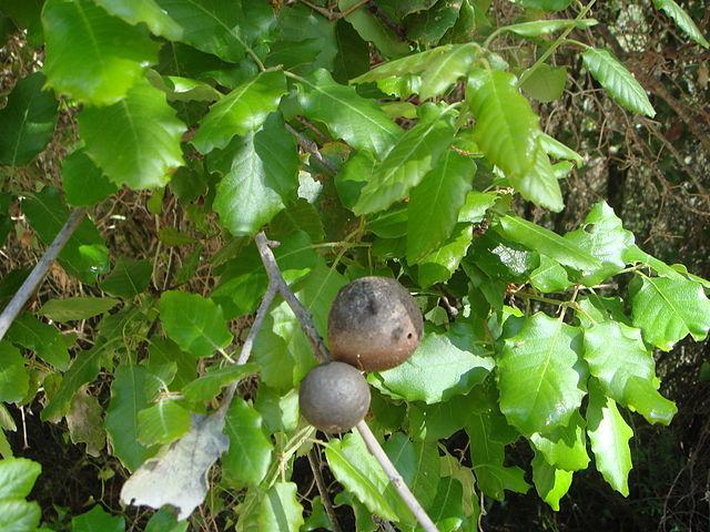 Encinos ou carvalhos (gênero Quercus): características, usos, espécies 7