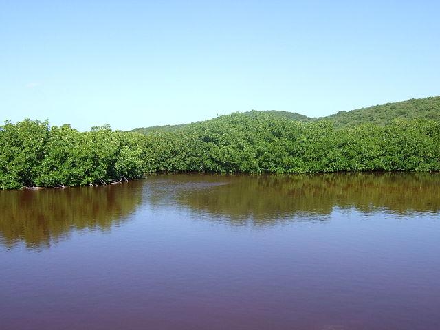 Mangue vermelho: características, habitat, cultura e benefícios 1