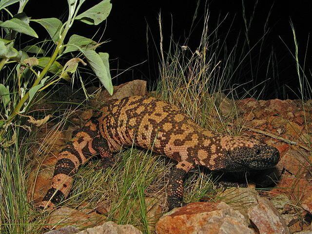 Monstro de Gila: características, habitat, reprodução, comida 2