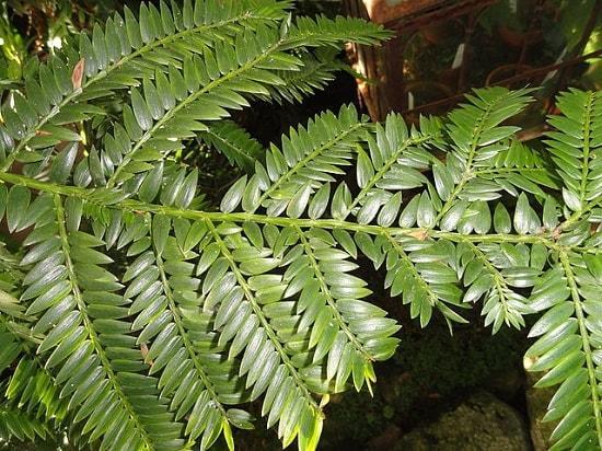 Pinheiro colombiano: características, habitat, reprodução e usos 2