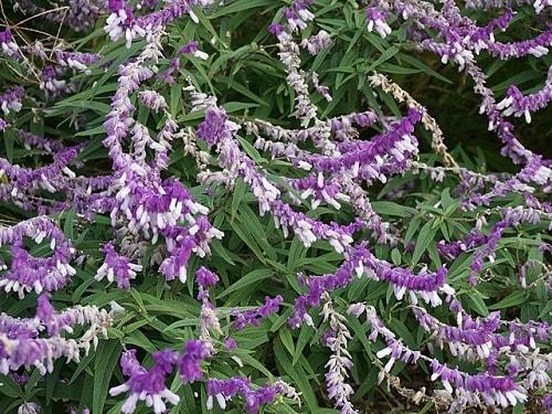 Salvia leucantha: características, habitat, propriedades 1