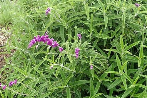 Salvia leucantha: características, habitat, propriedades 4