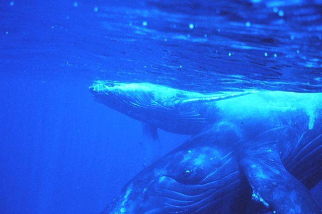 Baleia-jubarte: características, habitat, reprodução, comportamento 6