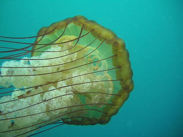 Água-viva: características, morfologia, habitat, reprodução 5