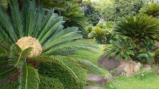 Cycas revoluta: características, habitat, toxicidade, cuidados 7
