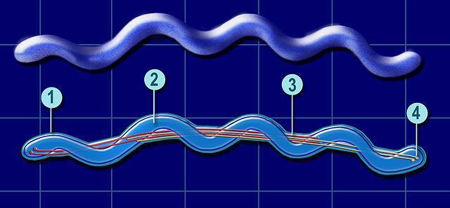 Spirochaetes: características gerais, morfologia, sistemática 2