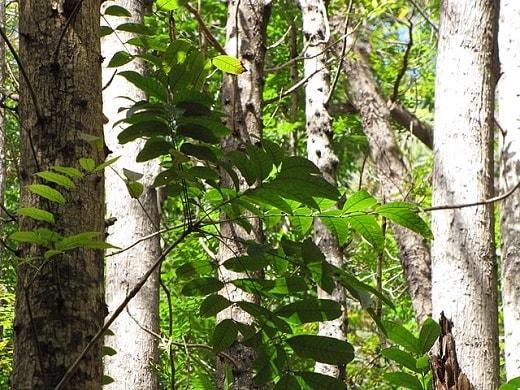 Swietenia macrophylla: características, habitat, usos, cultivo 1
